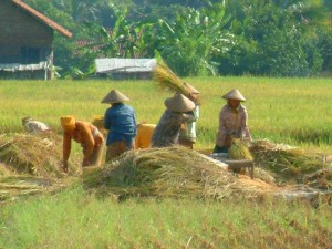 petani memanen padi
